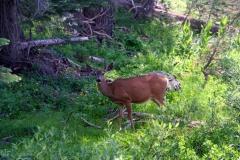 fearless_deer