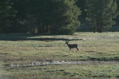 deer_at_crab_tree_meadows