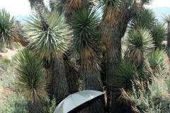 sauerkraut_seeking_shade_under_joshua_tree