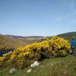 Gelber Ginster Irland