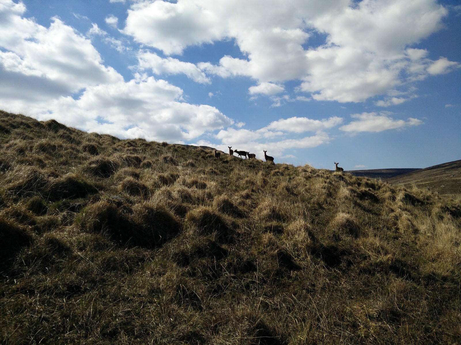 Rehe auf dem Wicklow Way